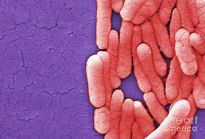 Photograph - Salmonella, Sem by Science Source