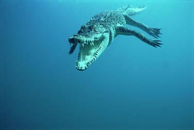 Saltwater Crocodile Crocodylus Porosus Art Print by Mike Parry