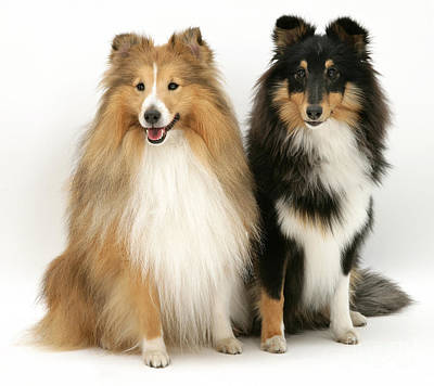 Sable Sheltie Photograph - Shelties by Jane Burton