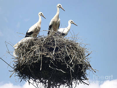 Photograph - 3 Storks In The Nest. Lithuania by Ausra Huntington nee Paulauskaite