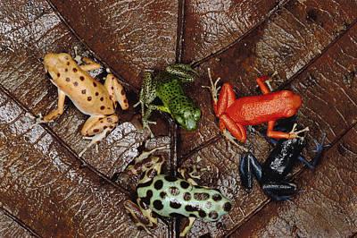 Photograph - Strawberry Poison Dart Frog Dendrobates by Mark Moffett