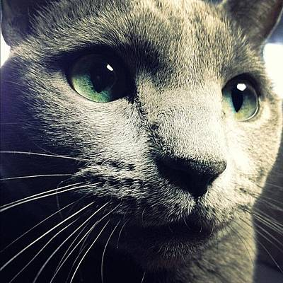 Cats Photograph - The Russian Blue by Natasha Marco