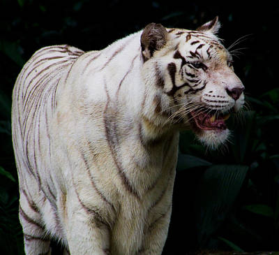 Photograph - Tiger by Chua  ChinLeng