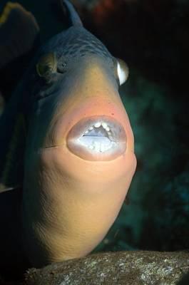 Triggerfish Photograph - Titan Triggerfish by Georgette Douwma