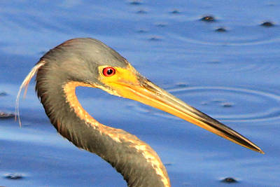 Photograph - Tri Colored Heron by Ira Runyan
