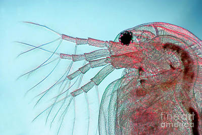 Daphnia Photograph - Water Flea Daphnia Magna by Ted Kinsman
