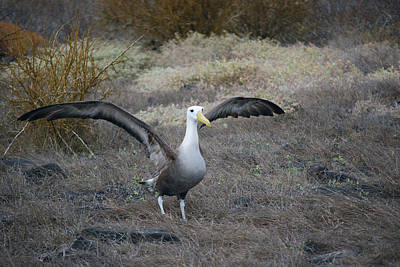 Photograph - Waved Albatross by Harvey Barrison