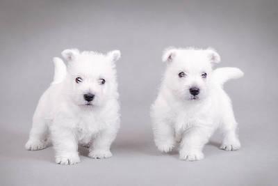 West Highland White Terrier Puppies Art Print by Waldek Dabrowski