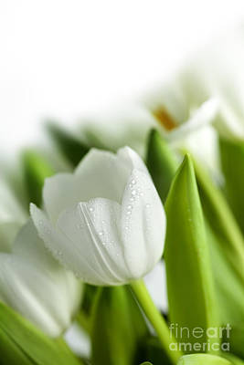Water Drops Photograph - White Tulips by Nailia Schwarz