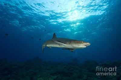 City Scenes - Whitetip Reef Shark, Kimbe Bay, Papua by Steve Jones