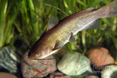 Bullheaded  - Yellow Bullhead Catfish by Ted Kinsman