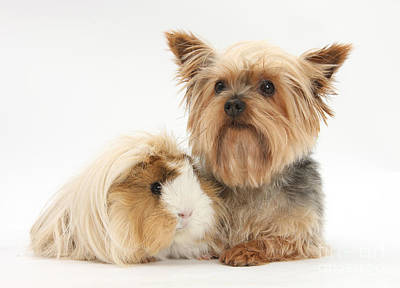 Yorkshire Terrier And Guinea Pig Art Print by Mark Taylor