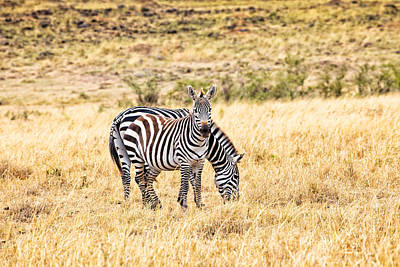 Photograph - Zebras In The Masai Mara by Perla Copernik