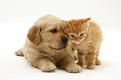 Golden Retriever Photograph - Kitten And Pup by Jane Burton