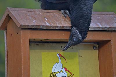 Photograph - 32- Vulture In Love by Joseph Keane