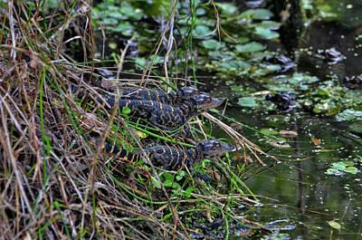 Photograph - 33- Alligator Hatchlings by Joseph Keane