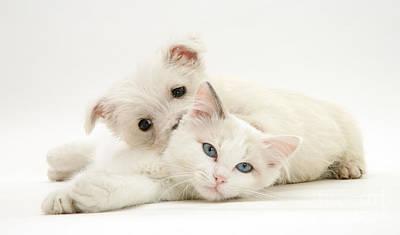 Ragdoll Kittens Photograph - Kitten And Pup by Jane Burton