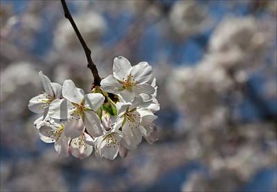 Cherry Blossoms Art Print by Robert Ullmann