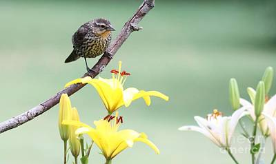 Photograph - Red-winged Blackbird by Jack R Brock