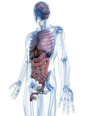 Male Anatomy, Artwork Art Print by Sciepro