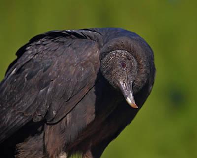Photograph - 37- Black Vulture by Joseph Keane