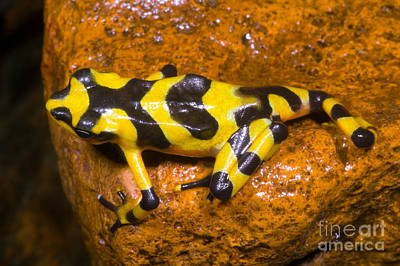Bufonidae Photograph - Harlequin Toad by Dante Fenolio