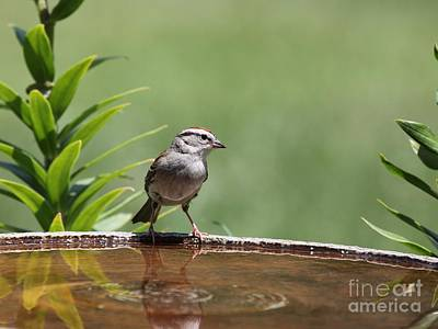 Photograph - Chipping Sparrow by Jack R Brock