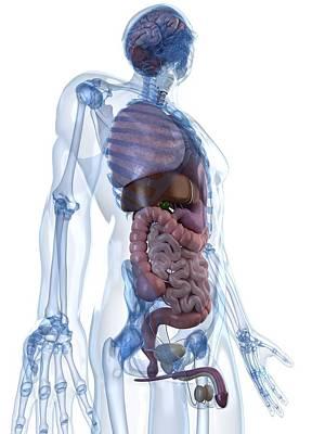 Human Internal Organ Digital Art - Male Anatomy, Artwork by Sciepro