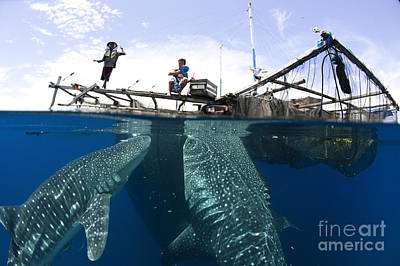 Whale Shark Feeding Under Fishing Art Print by Steve Jones