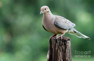 Photograph - Mourning Dove by Jack R Brock
