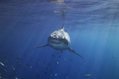 A Great White Shark Swims In Clear Art Print by Mauricio Handler