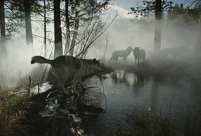 Natural Forces Photograph - A Group Of Gray Wolves, Canis Lupus by Jim And Jamie Dutcher