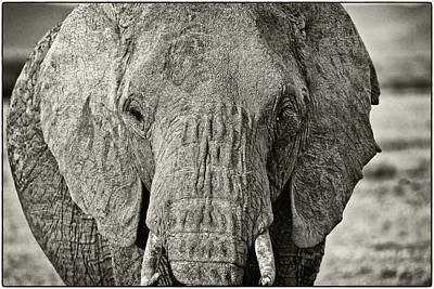 Photograph - African Elephant In The Masai Mara by Perla Copernik