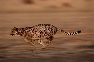 An African Cheetah Acinonyx Jubatus Art Print by Chris Johns