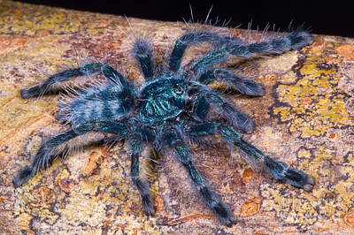 Photograph - Antilles Pinktoe Tarantula by Dante Fenolio