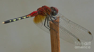 Photograph - Barbet Dragonfly by Mareko Marciniak