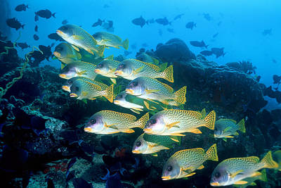 Blackspotted Photograph - Blackspotted Sweetlips by Georgette Douwma