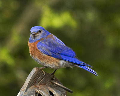 Photograph - Bluebird by Jean Noren