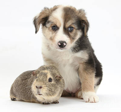 Border Collie Pup And Guinea Pig Print by Mark Taylor