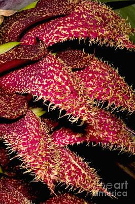 Bulbophyllum Orchid Art Print