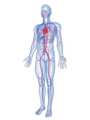 Cardiovascular System, Artwork Art Print