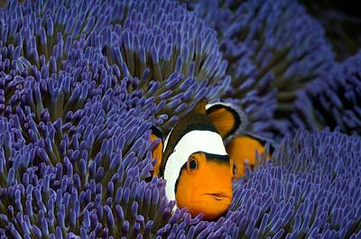 Clown Anemonefish Art Print by Georgette Douwma