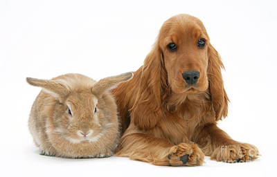 Golden Cockers Photograph - Cocker Spaniel And Rabbit by Mark Taylor