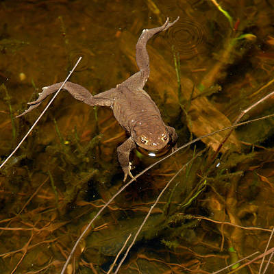 Mellow Yellow - Common Frog by Jouko Lehto