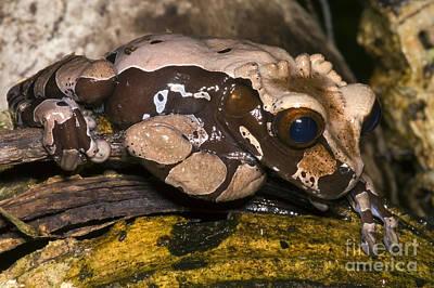 Crowned Tree Frog Art Print by Dante Fenolio