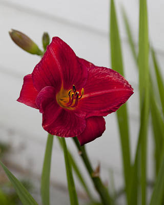 Photograph - Day Lily by Joe  Palermo