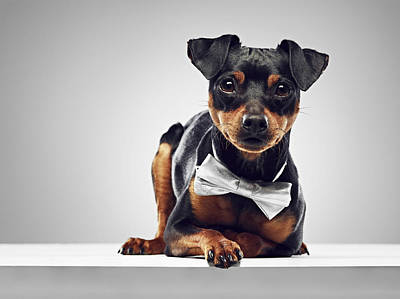 Y120831 Photograph - Dog Wearing Bow Tie by 24frames