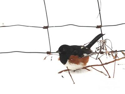 Photograph - Eastern Towhee by Jack R Brock
