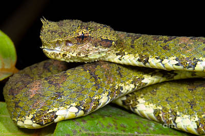 Photograph - Eyelash Viper by Dante Fenolio