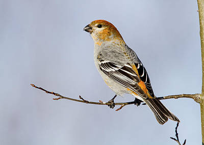 Female Pine Grosbeak Art Print